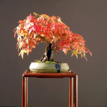 Japanese maple bonsai in fall