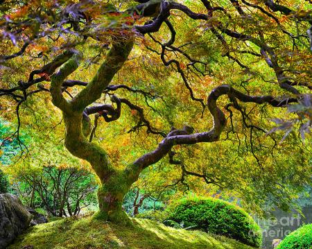 japanese-maple-tree-chuck-roderique