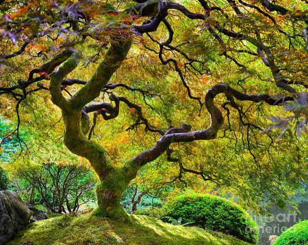 japanese-maple-tree-chuck-roderique