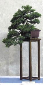 juniperus-chinensis-cascade-italie
