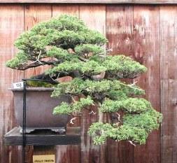 Juniperus chinensis 'Shimpaku' 01