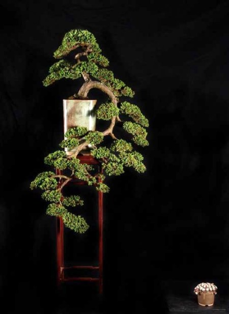 Juniperus horisontalis