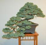 juniperus_procumbens3