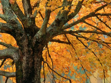 Large Maple Tree in Autumn Bass Lake, North Carolina
