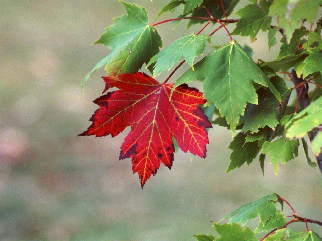 Leaves from a Maple Tree