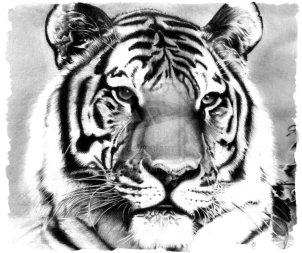 the_tiger_pencil_drawing_by_booters