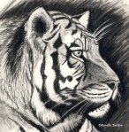 tiger-pencil-drawing