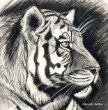 tiger-pencil-drawing