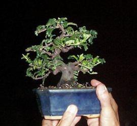 vdan bonsai1
