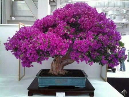 02-Bougainvillea-bonsai-lorna-toledo