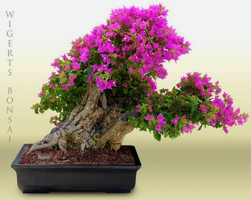 Bougainvillea uma das mais belas flora es aido bonsai for Bougainvillea bonsai prezzo