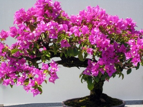 bonsai bougainvillea2