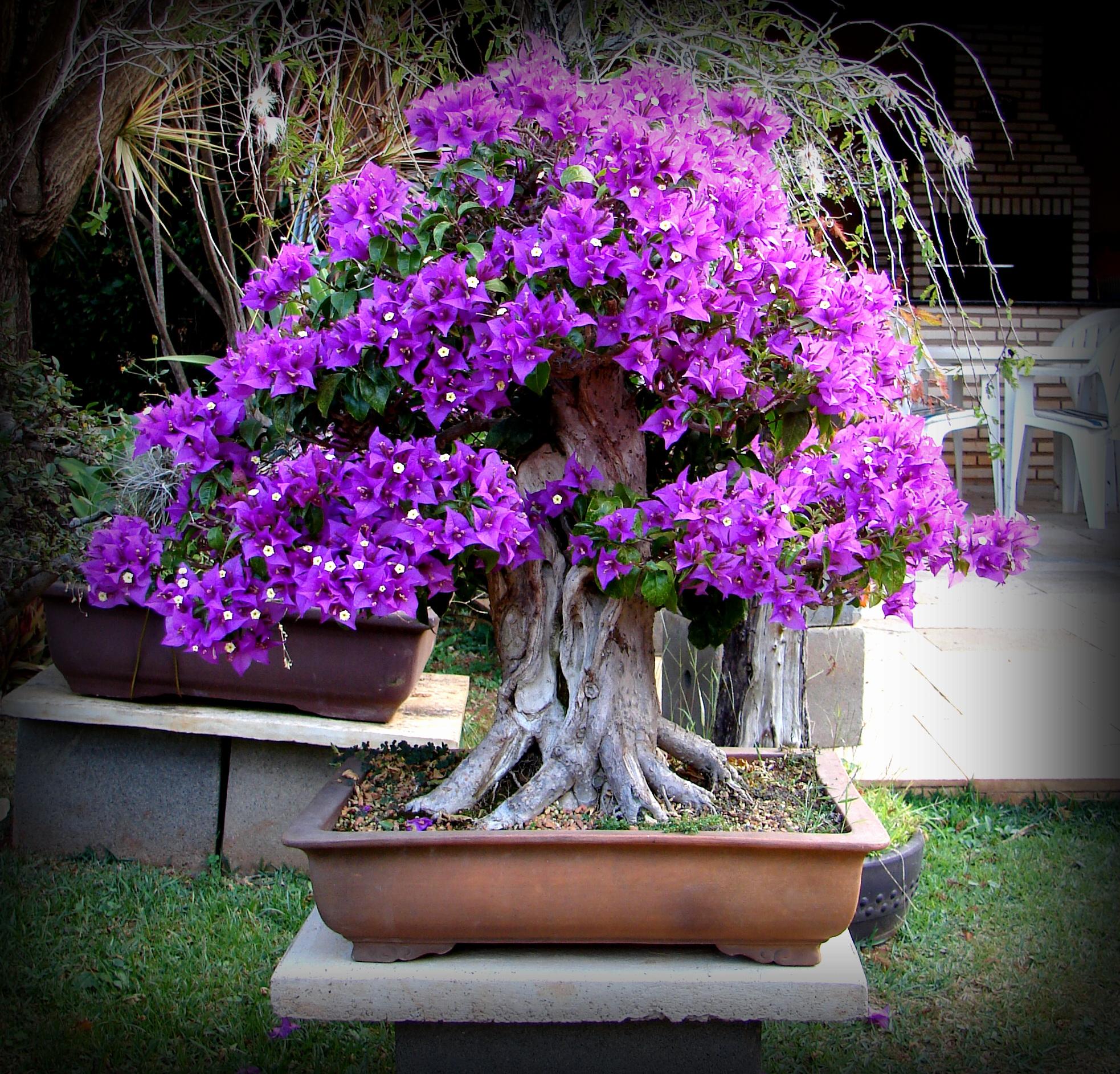 Bougainvillea bonsai aido bonsai - Como cultivar bonsais ...