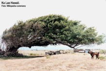 wind-blown_tree_ka_lae_hawaii