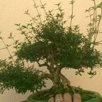 Essa Ç minha planta mais antiga e a q tenho mais carinho Serissa