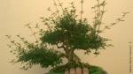 Essa Ç minha planta mais antiga e a q tenho mais carinhoSerissa