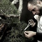 Trabalhando um pinus silvestre