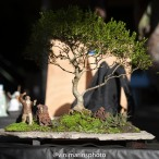 O mestre de Taichi Espécie: Ficus nerifolia escala 11X1