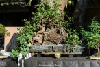 As raízes do tempo. Espécie: Ficus retusa