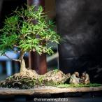 O jogo de Gô Espécie: Ficus nerifolia