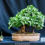 Artista: Roosevelt Freire Espécie: Ficus Green (formosana)